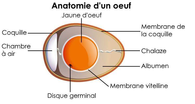 anatomie-oeuf